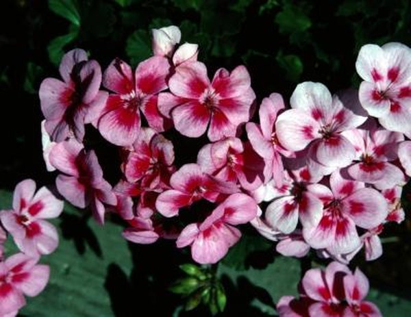 How To Prevent Geraniums From Rotting Home Guides Sf Gate