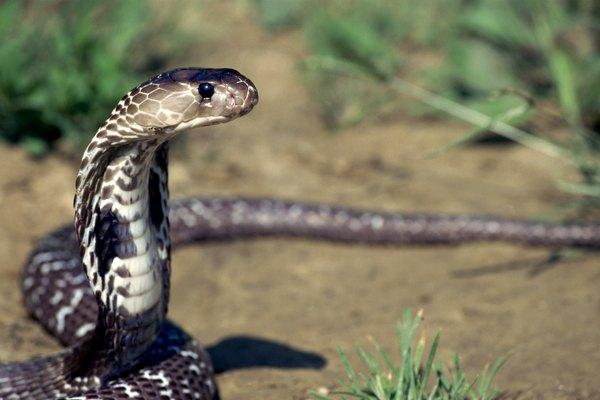 long cobra snake