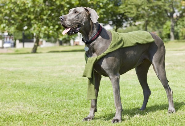 Large dog breeds are more prone to osteosarcoma than smaller canines.