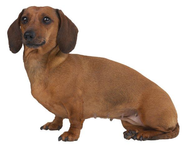 Hansen Type 1 herniated disc disease is most common in dachshunds.