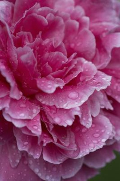 Planting Instructions For Peonies Home Guides Sf Gate