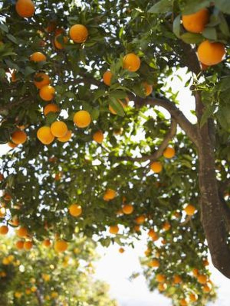 How Much E Between Mango Orange Avocado Trees Home Guides Sf Gate