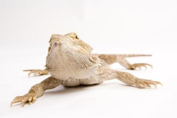 What Does It Mean When a Lizard's Neck Poofs Out? | Animals