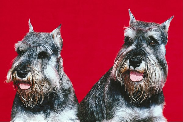 There are three types and sizes of schnauzers.