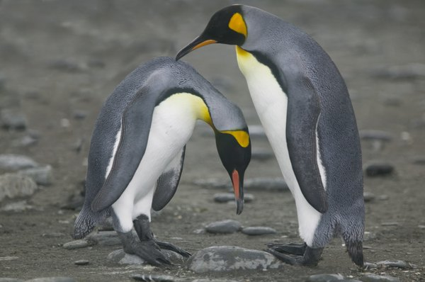 Penguins engage in a mating ritual.