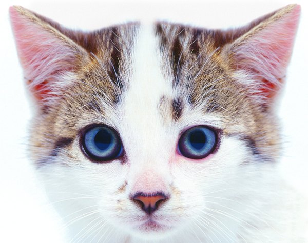 Do Vets Require Vaccinations In Cats Before Being Spayed Pets