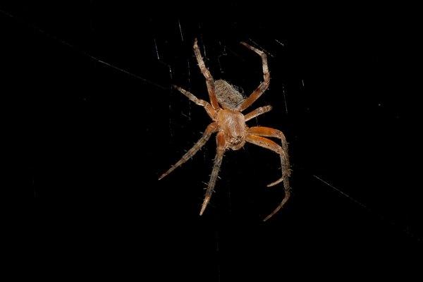 Orb Weaver spider.