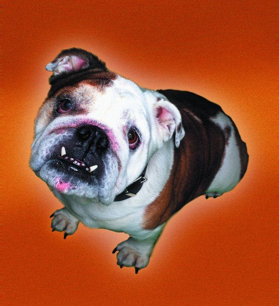 The bulldog sports small, rose-shaped ears.