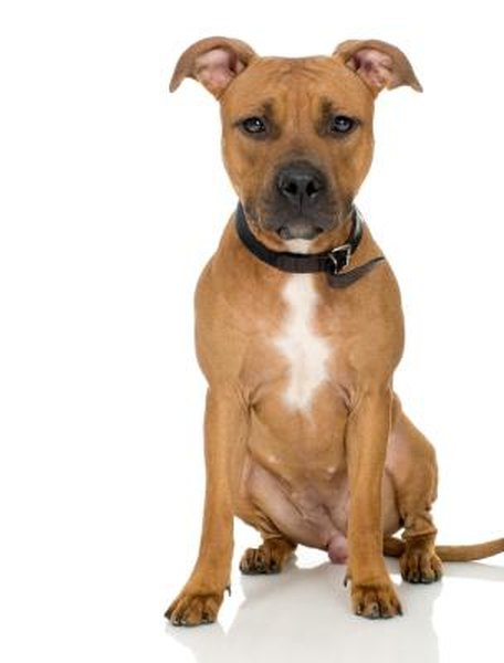 What Does An American Pit Bull Terrier Look Like Pets