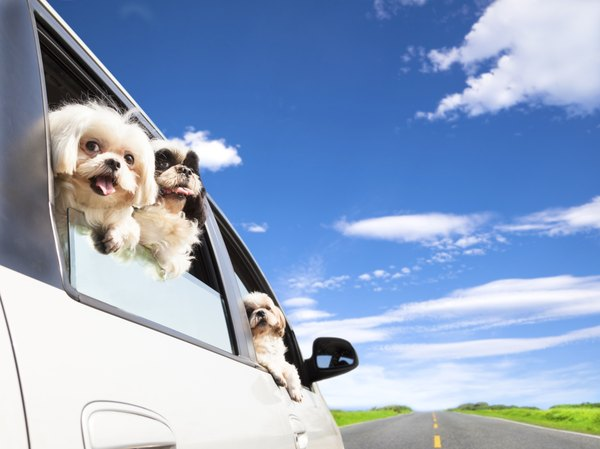 While your pup may enjoy sticking his head outside the window, it's not safe.