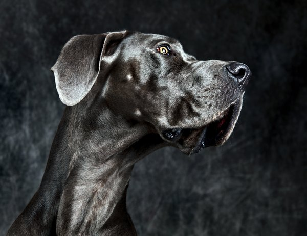 Recordista de altura entre os cães, o dogue alemão tem curta expectativa de vida: entre seis e oito anos