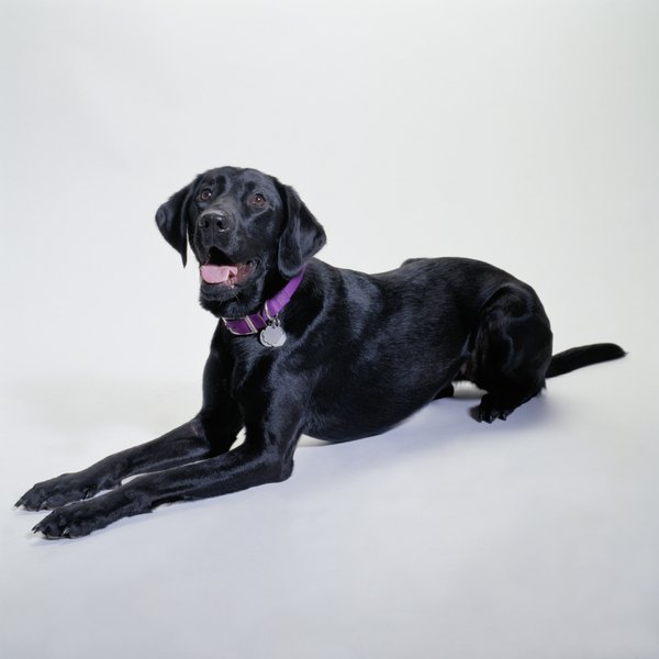 The English Lab is bred primarily for companionship or the show ring, not field sports.