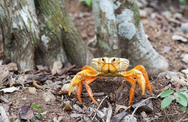 Land crabs are able to live on land.