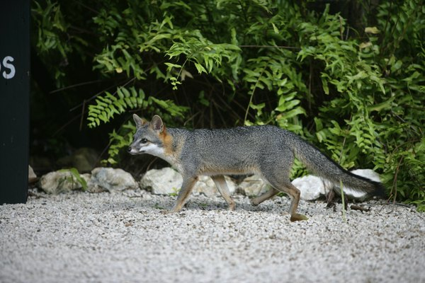 the gray fox is one of the carnivorous mammals in north central Texas