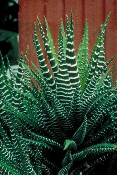 Characteristics About Aloe Plants | Home Guides | SF Gate