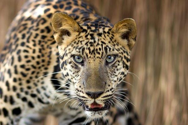 leopard stalking in grass