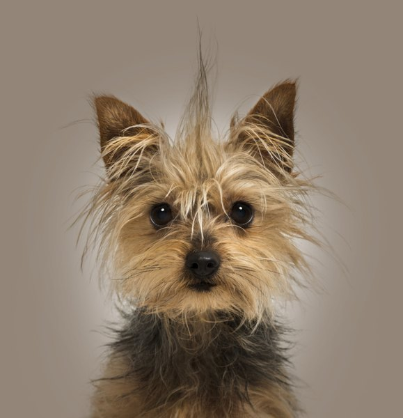You should spay or neuter your Yorkie when the dog reaches adulthood.