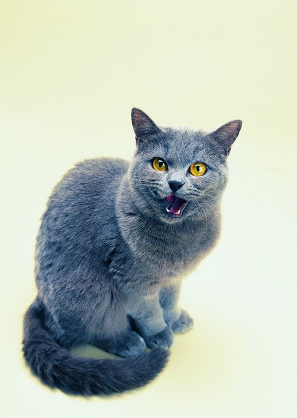 bfe57b7d82 Some domestic shorthairs look like Russian blues but don t have green eyes.