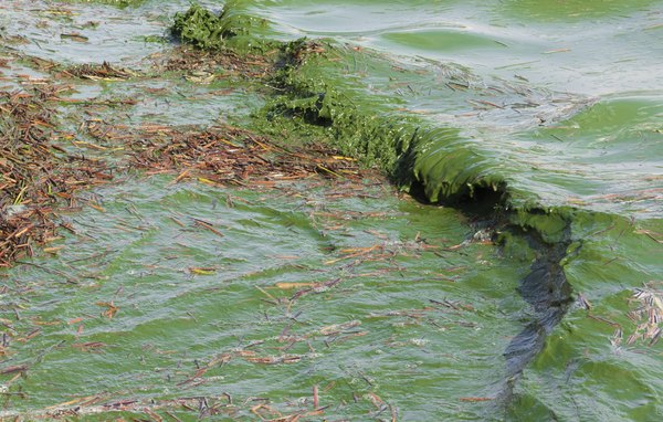 Cyanobacteria make and use their own organic food from sunlight energy through the process of photosynthesis