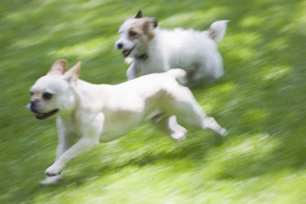 Common canine mounting behavior can lead to fights between dogs if not their owners.