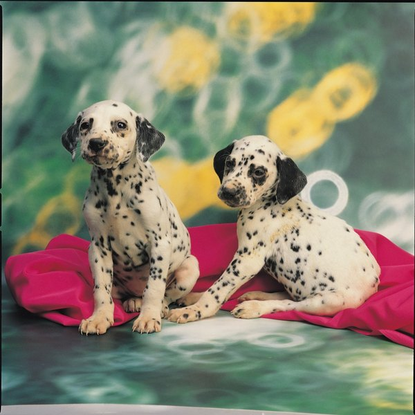 Dalmatians are one breed predisposed to urinary tract crystals.