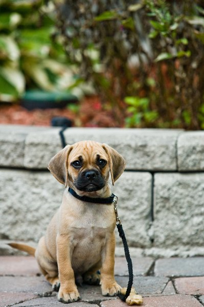 Very young puppies are still capable of learning basic commands, such as walking on a loose leash.