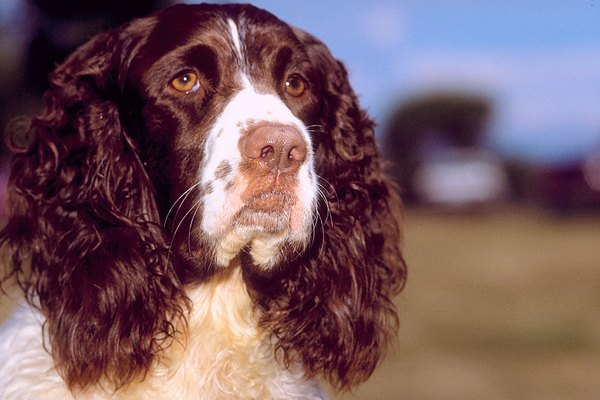 The average springer spaniel can expect to live 10 to 14 years.