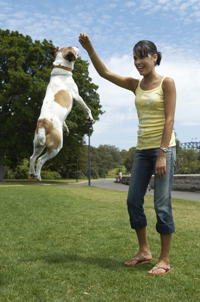 Young, athletic dogs can experience traumatic CCL injuries during active play.