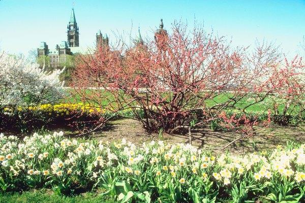 El nombre del árbol Magnolia Grandiflora alude al gran tamaño de sus flores.