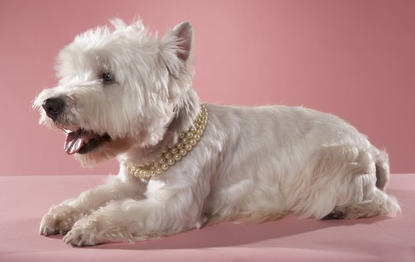 West Highland white terriers are among the breeds prone to copper storage disease.