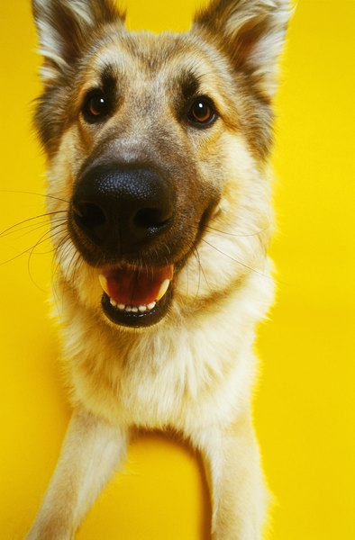 German shepherds are among the breeds predisposed to canine melanoma.