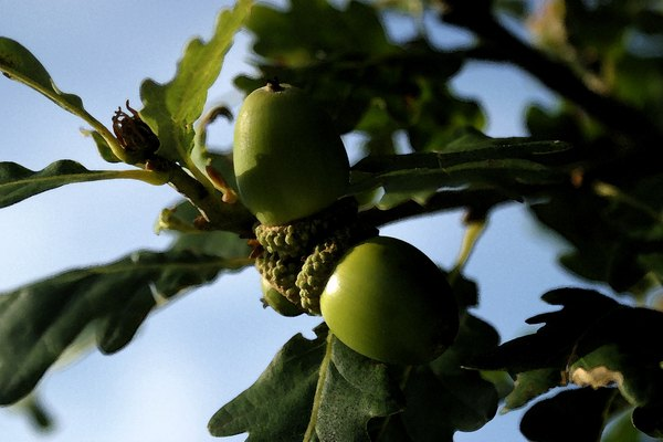Identifying Oak Trees | Home Guides | SF Gate