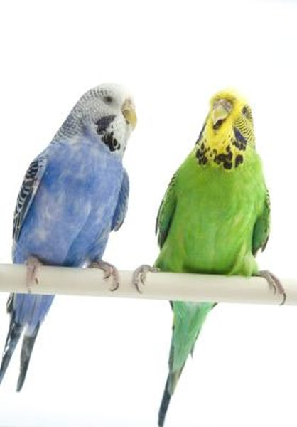 Why Will My Parakeet Not Stop Chirping? - Pets