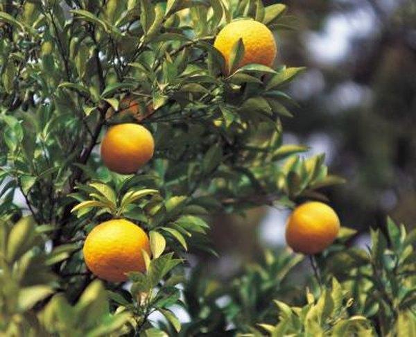 Image result for Pruning mature Calamansi