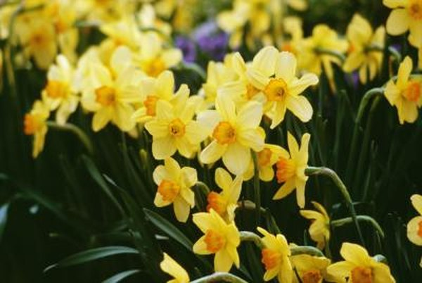 Do Daffodils Flower More Than Once Each Year Home Guides Sf Gate