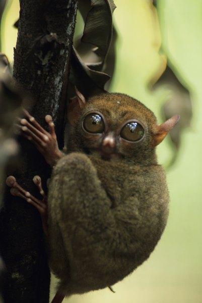 El tarsier habita en las zonas boscosas.