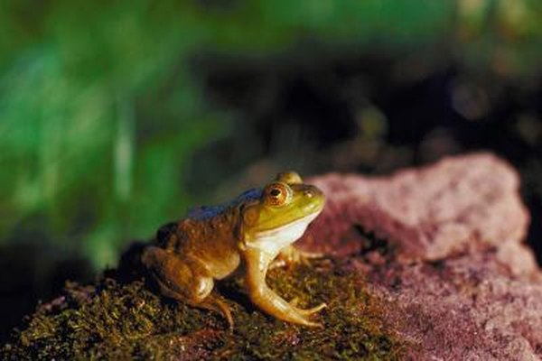 cutaneous respiration in frog essay
