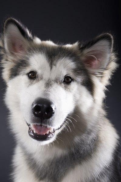 Comparison Contrast Of The Alaskan Malamute The Husky Dog Care