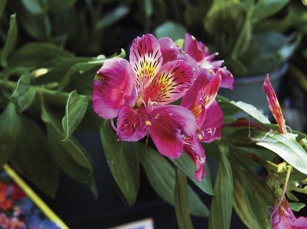 Orquídea semiterrestre.