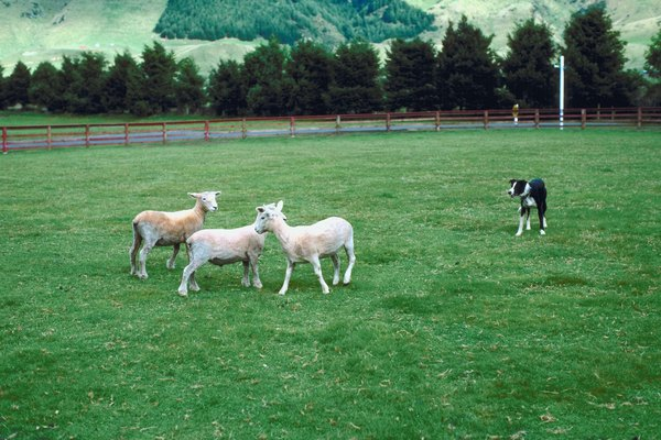 Sheepdogs specialize in controlling groups of livestock.
