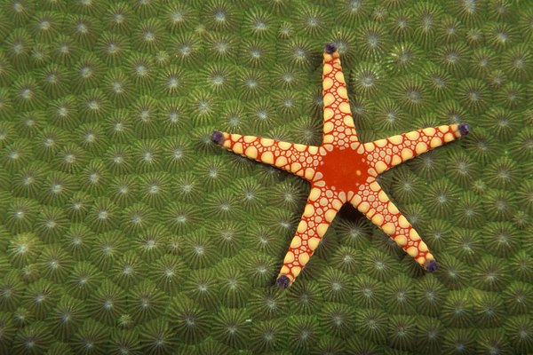 Starfish eating algae.