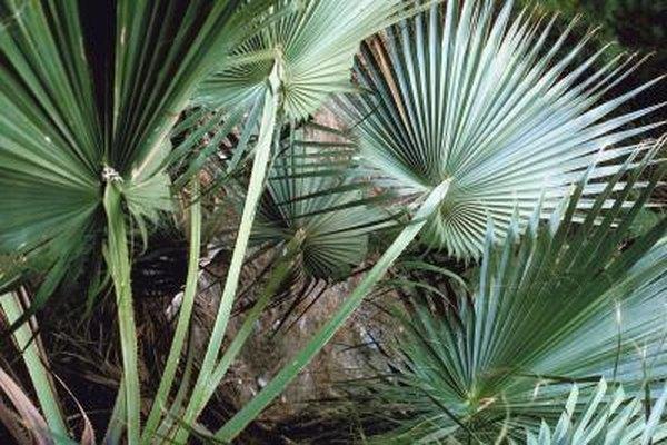 how to care for a saw palmetto serenoa repens plant home guides