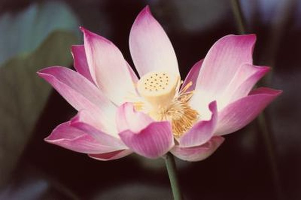 Facts about the indian lotus flower home guides sf gate mightylinksfo