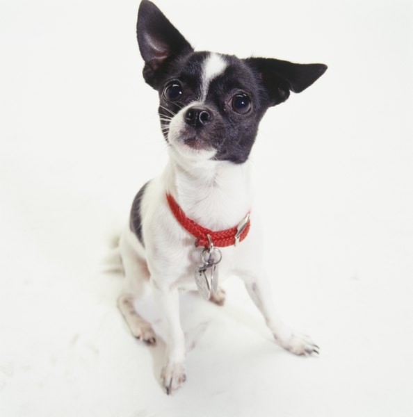 The Chihuahua is the smallest breed recognized by the American Kennel Club.