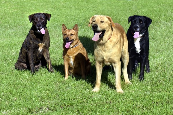 Purebred dogs are as healthy as their mixed-breed counterparts.