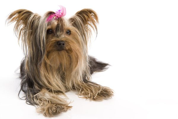 Taking Care Of Shih Tzus Yorkies Pets