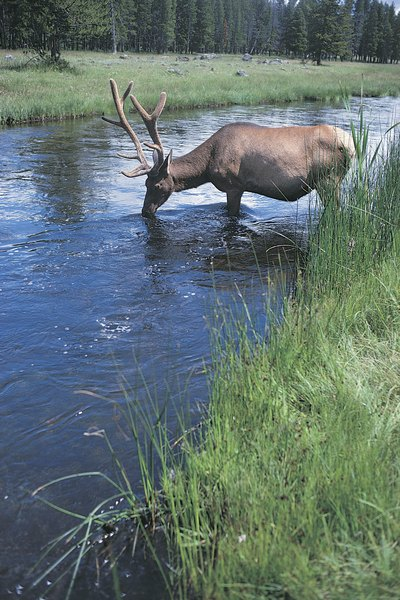 Caribou in stream