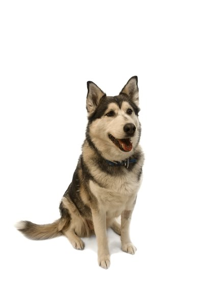 Siberian Huskies are a double-coated breed.