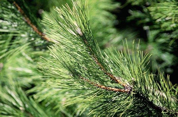 Needleleaf closeup