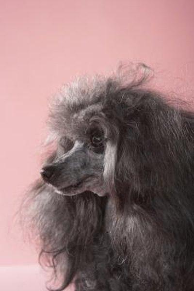 How Big Can A Shih Tzu Poodle Puppy Get Pets
